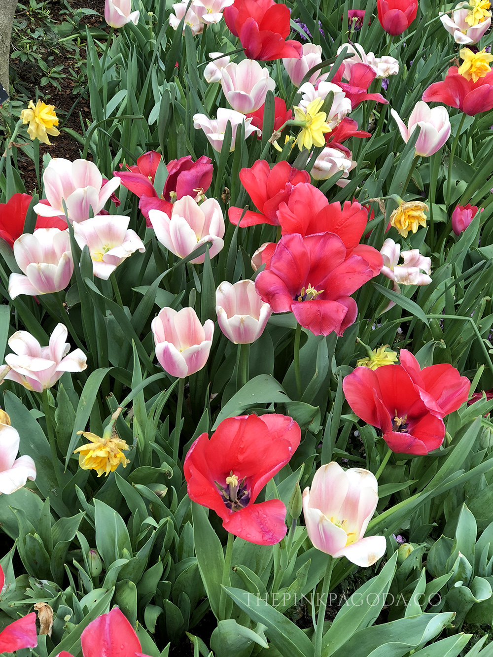 Tulips of every size and color at The Dallas Arboretum.