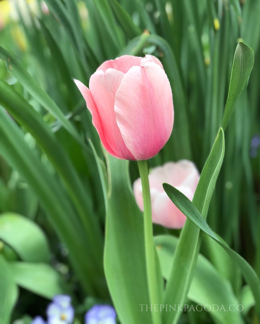 Pretty pink tulips at The Dallas Arboretum.