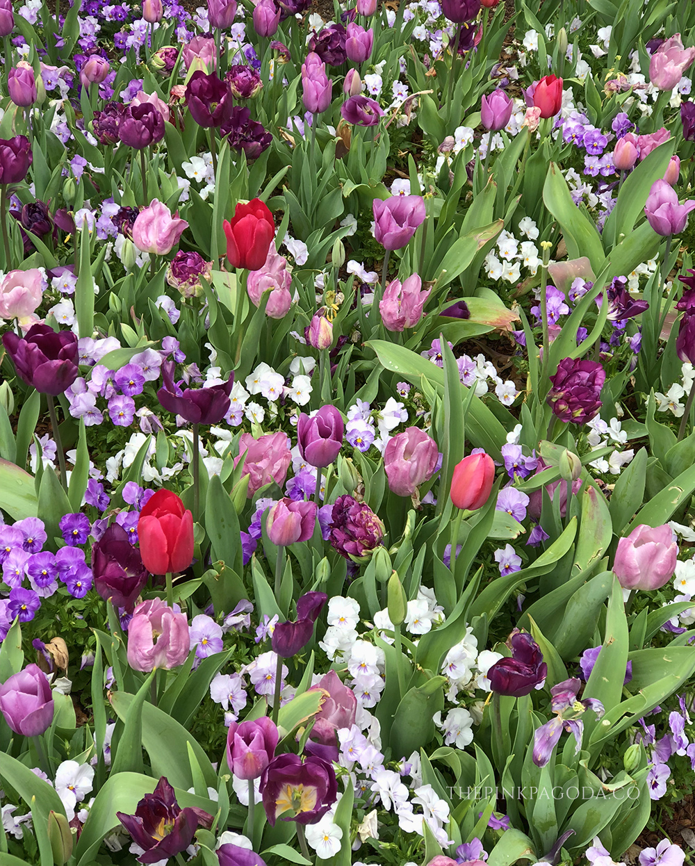 Gorgeous mix of colored tulips at The Dallas Arboretum.