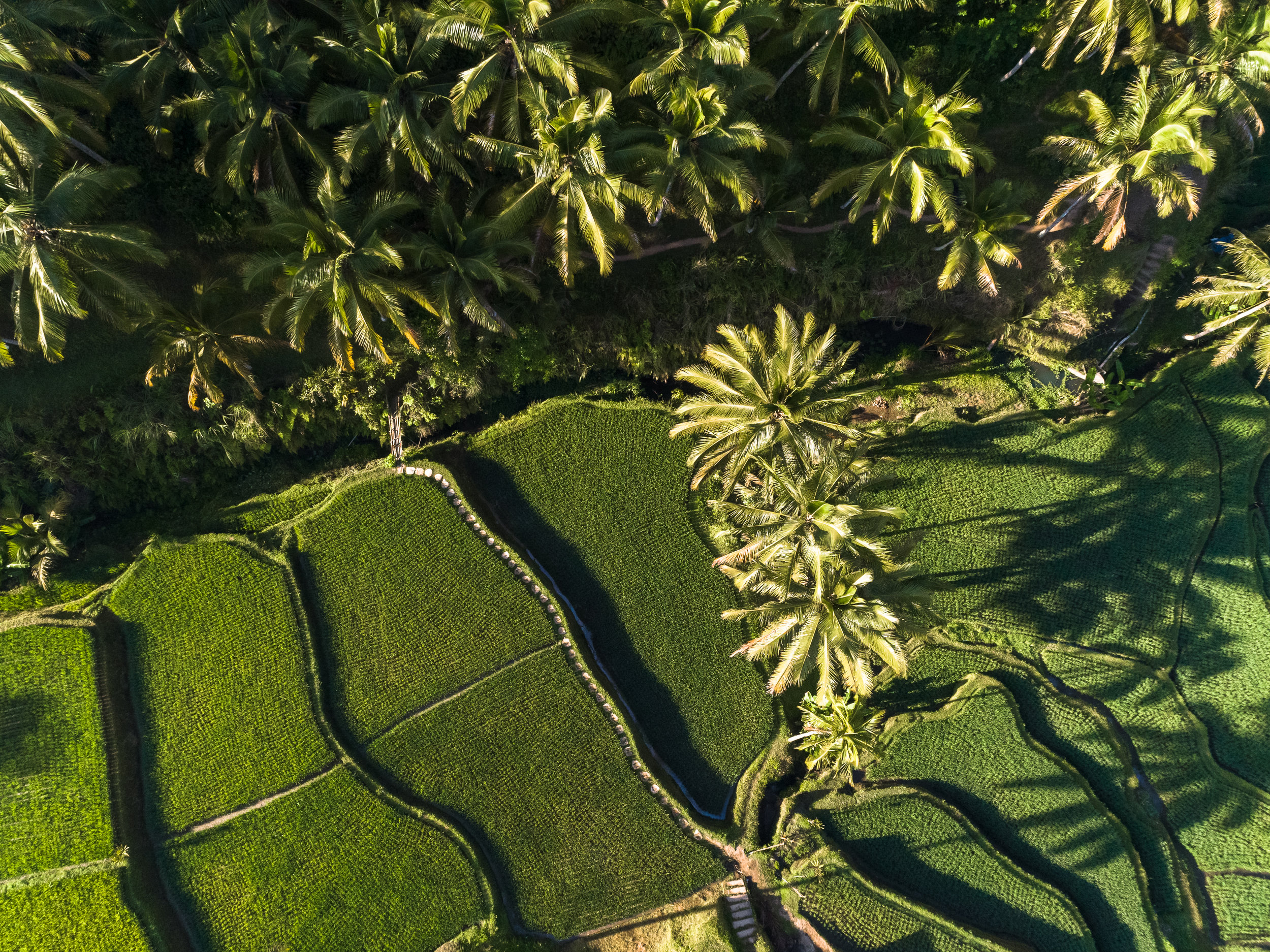Rice Terraces, Ubud, Bali