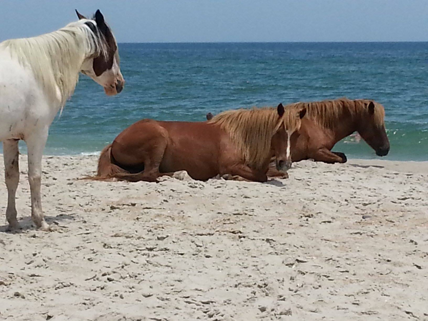 assateague horses.jpg