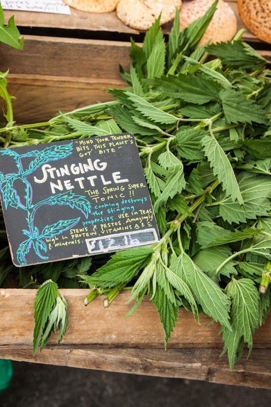 stinging-nettle1