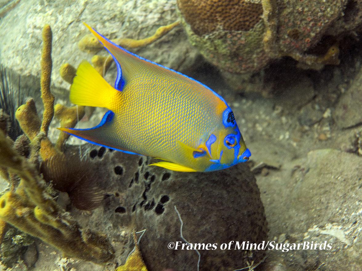 Yellow Angelfish, St. John, USVI
