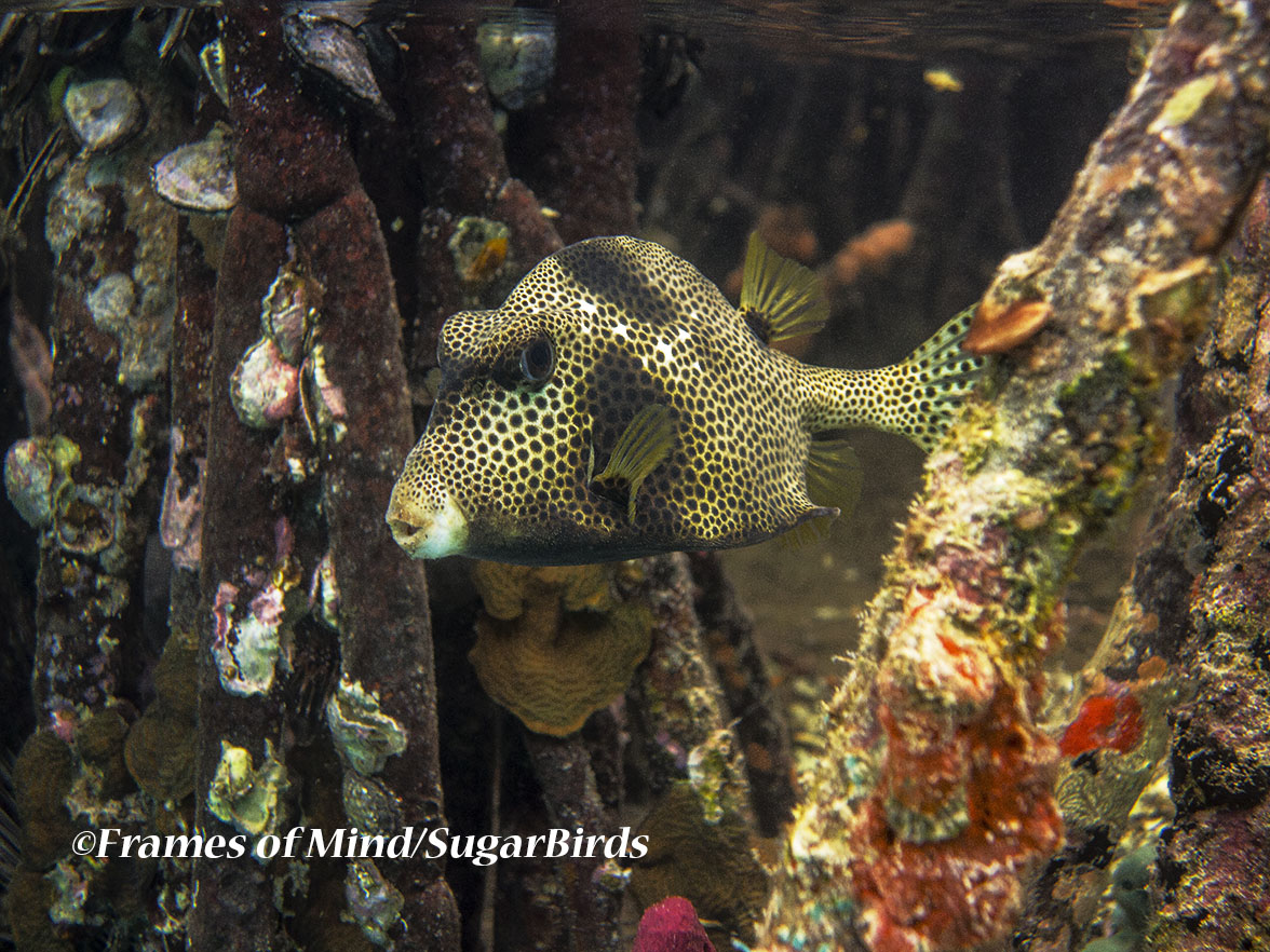 Trunkfish, St. John, USVI