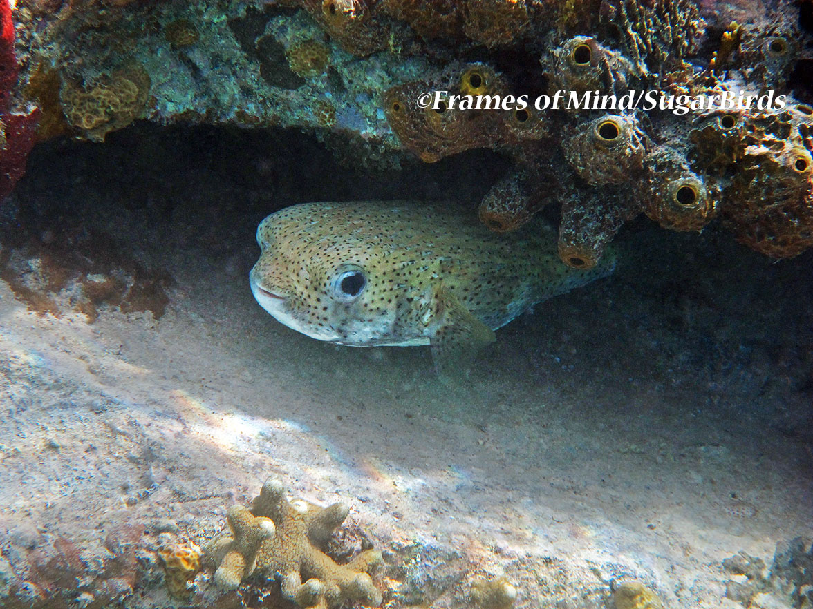 Pufferfish, St. John, USVI