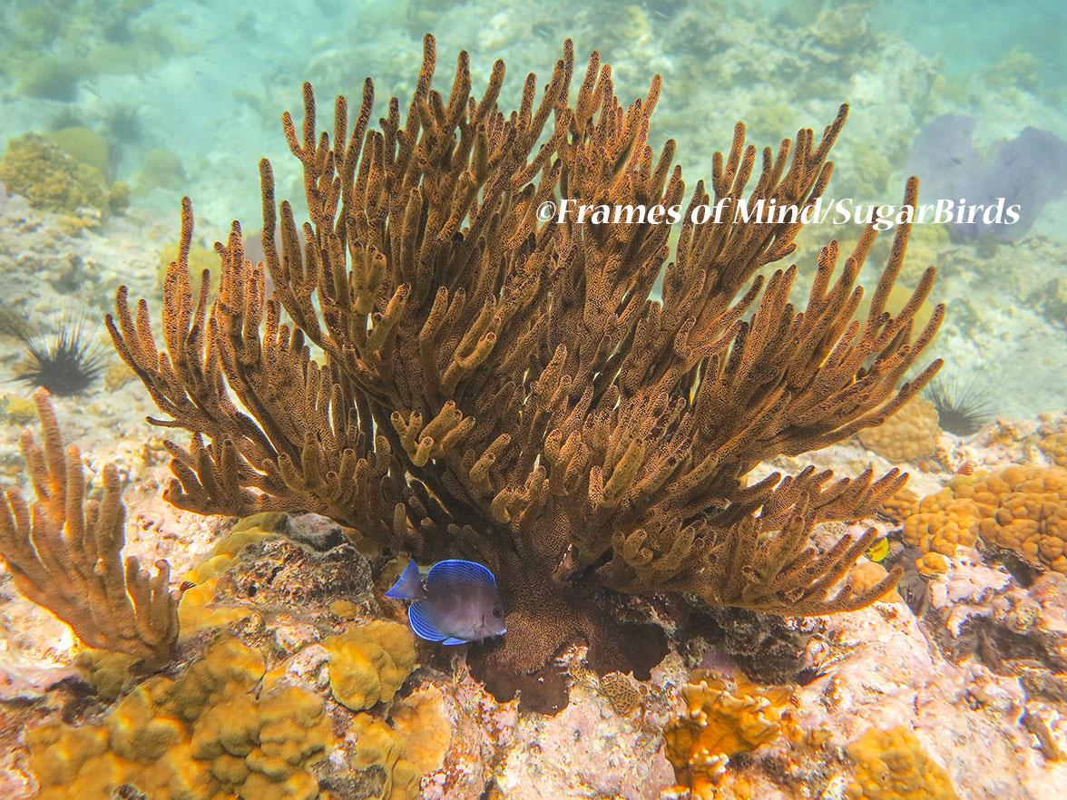 Soft Coral and Blue Tang, St. John, USVI