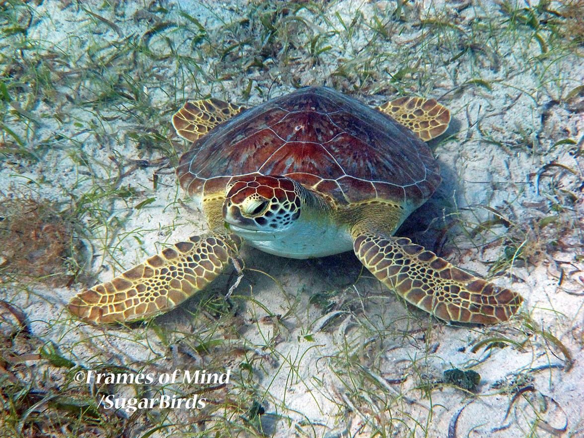 Turtle on Bottom, St. John, USVI