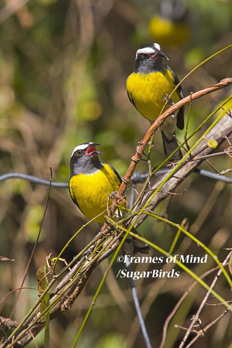 Sugarbirds, St. John, USVI