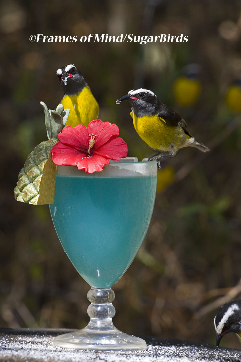 Sugarbird Cocktail, St. John, USVI