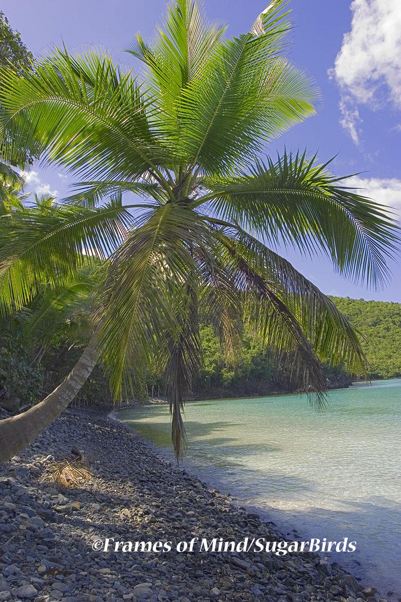 Maho Bay Palm Tree, St. John, USVI