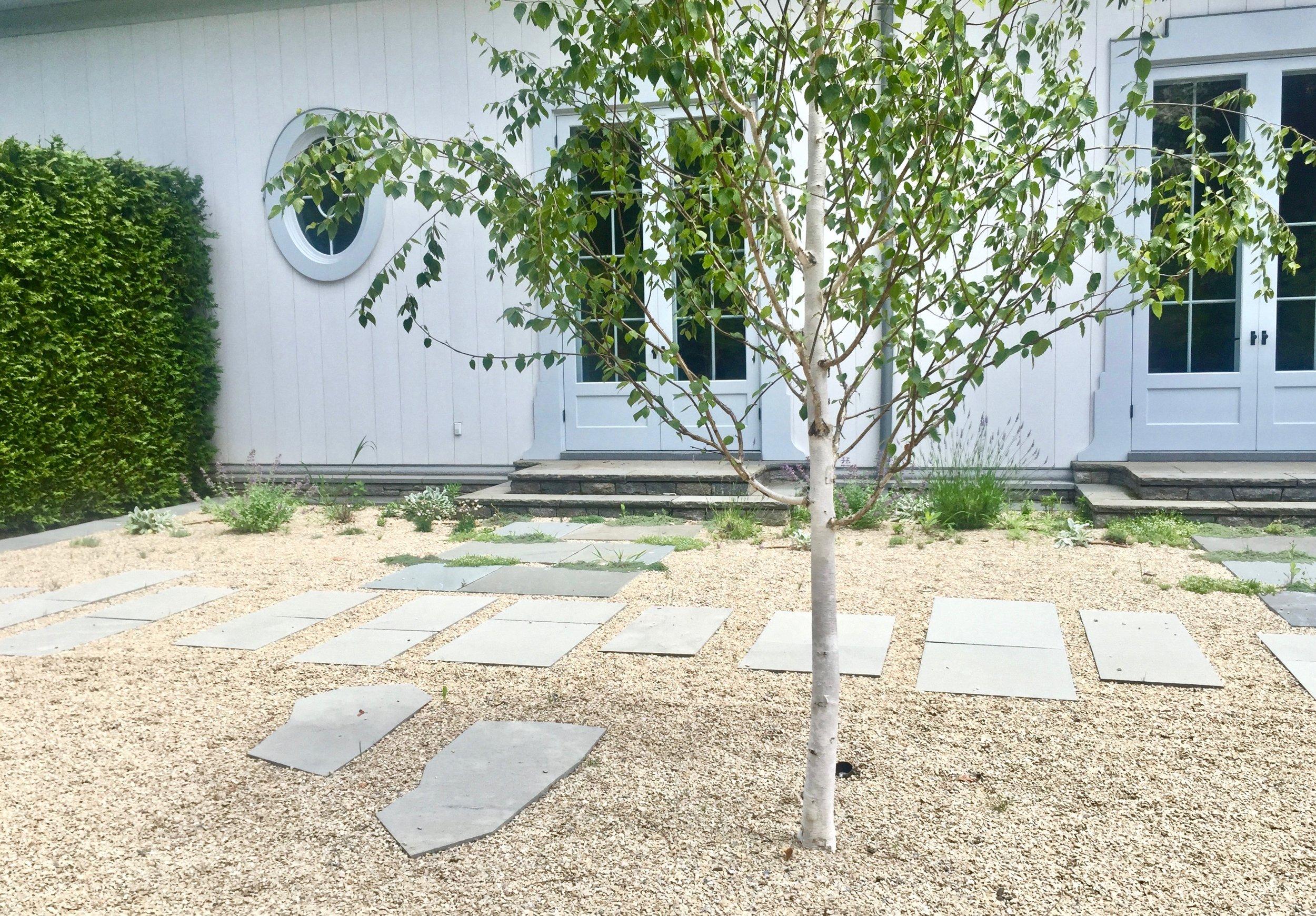 birch grove path.jpg