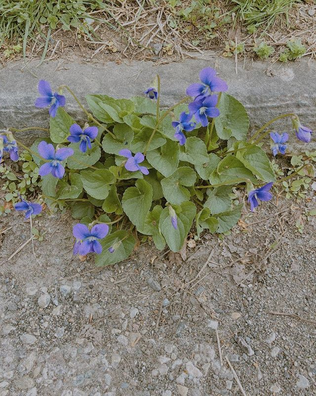 We made it through the week like these resilient little violets.