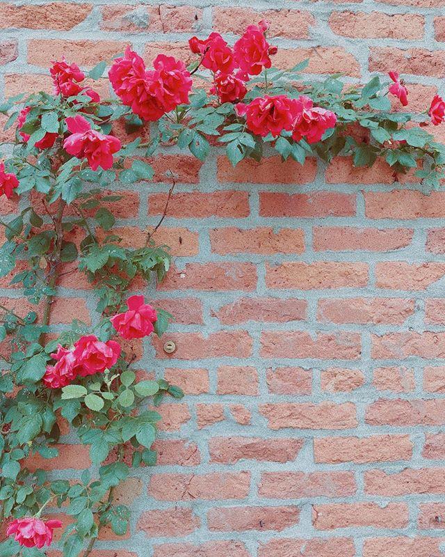 June roses 😍
