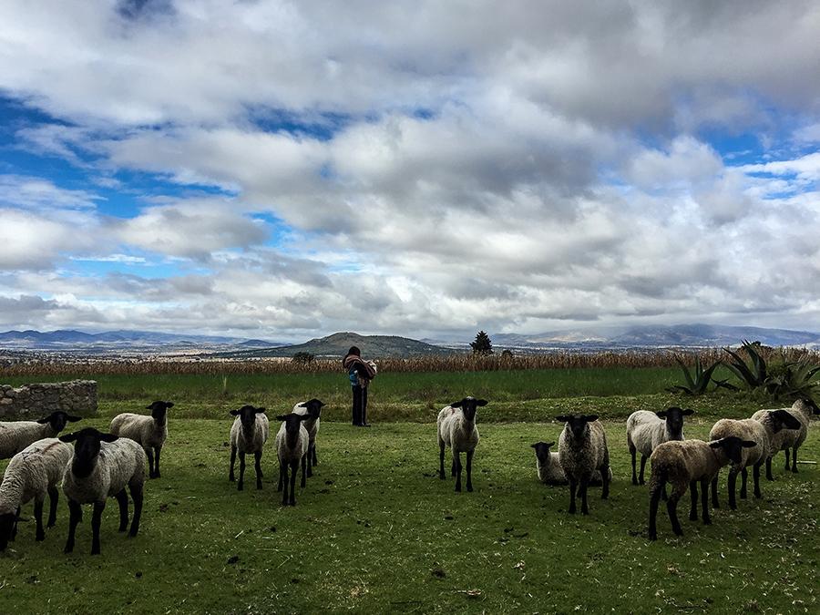 Tlaxcala, Mexico.Sheep herdin at Hacienda Santa Barbara - Casa Malinche.Photo © Adriana Zehbrauskas