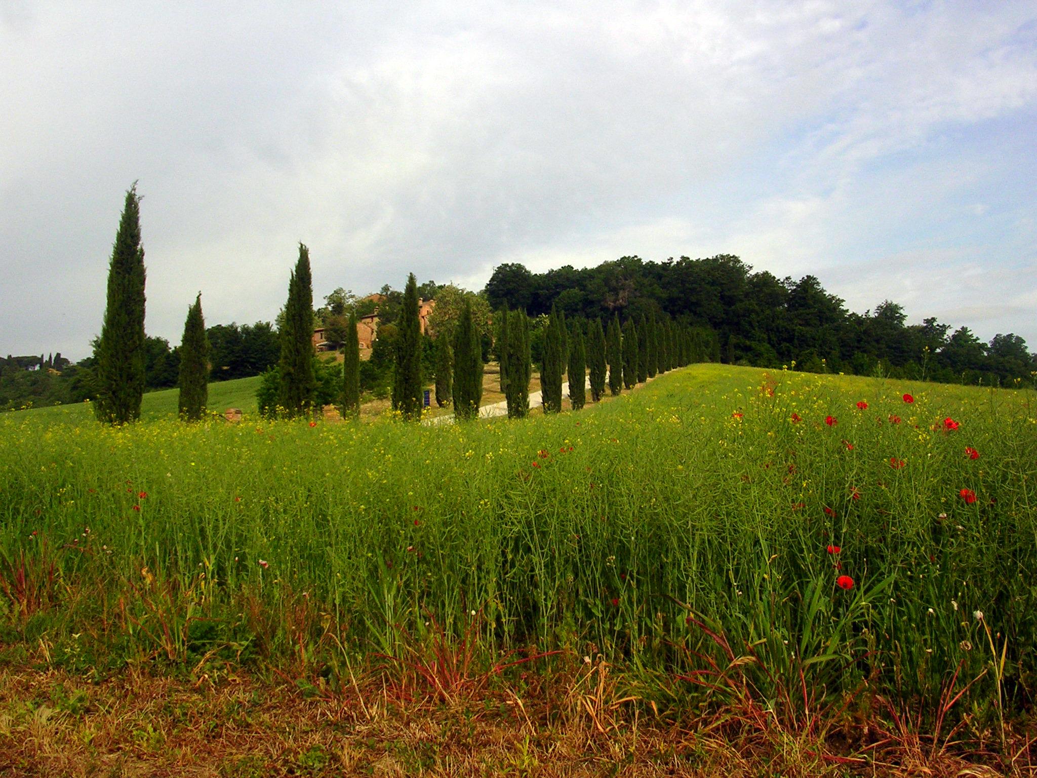 Poppies blooming by the cypress Siliano Alto EAT.PRAY.MOVE Yoga Retreats | Tuscany, Italy