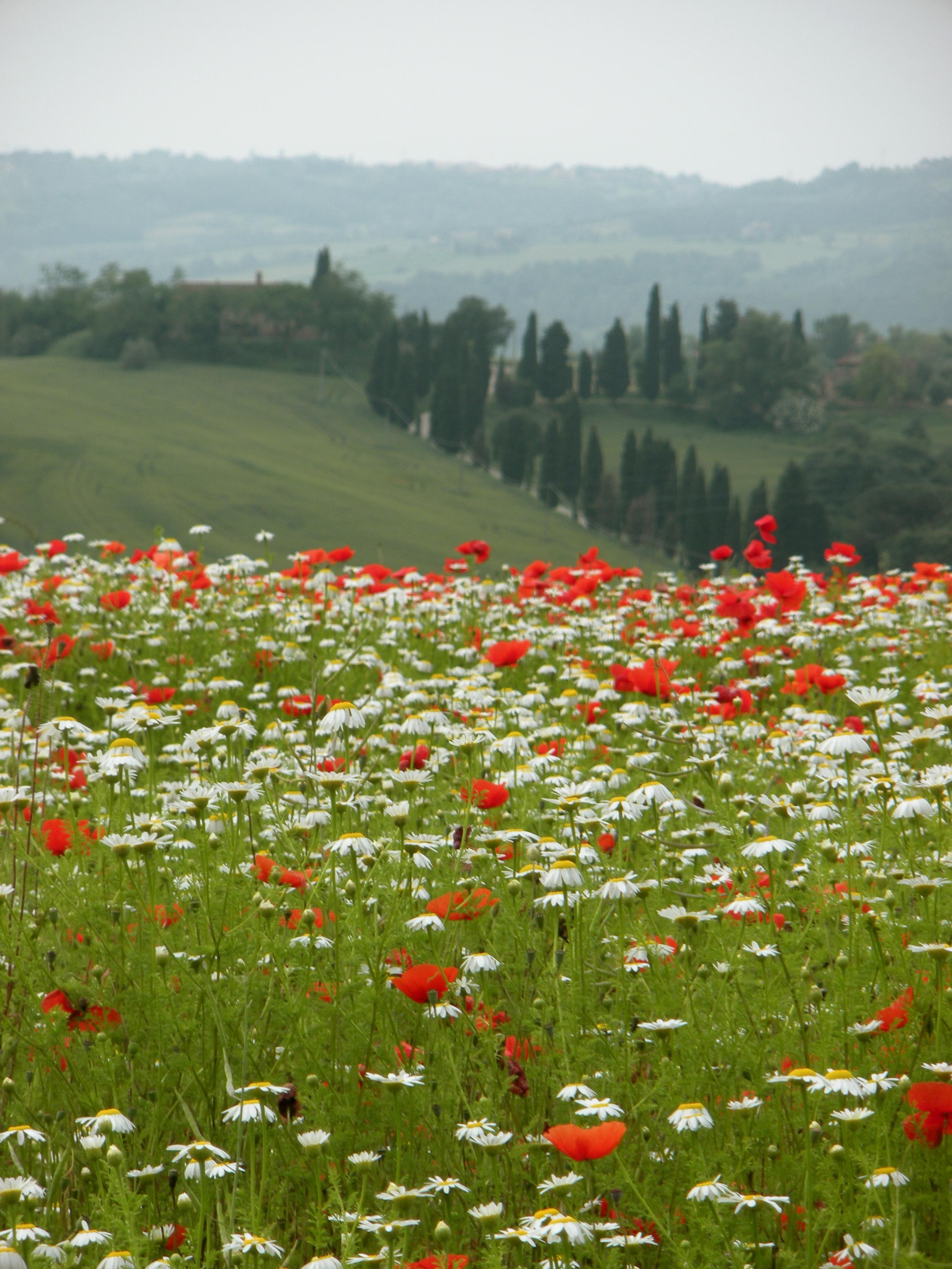 Brilliant red poppies EAT.PRAY.MOVE Yoga Retreats | Tuscany, Italy