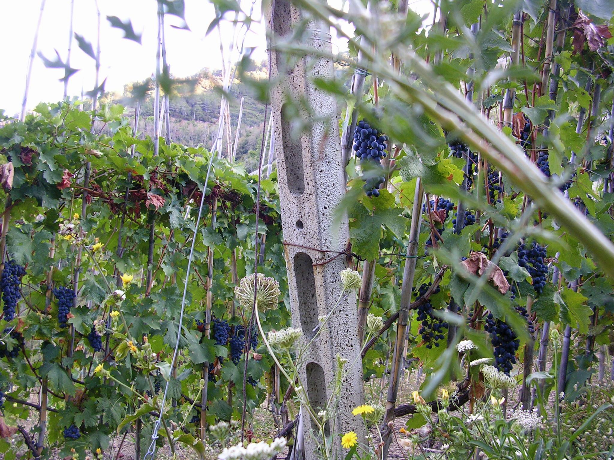 Grapes on the vine EAT.PRAY.MOVE Yoga Retreats | Tuscany, Italy