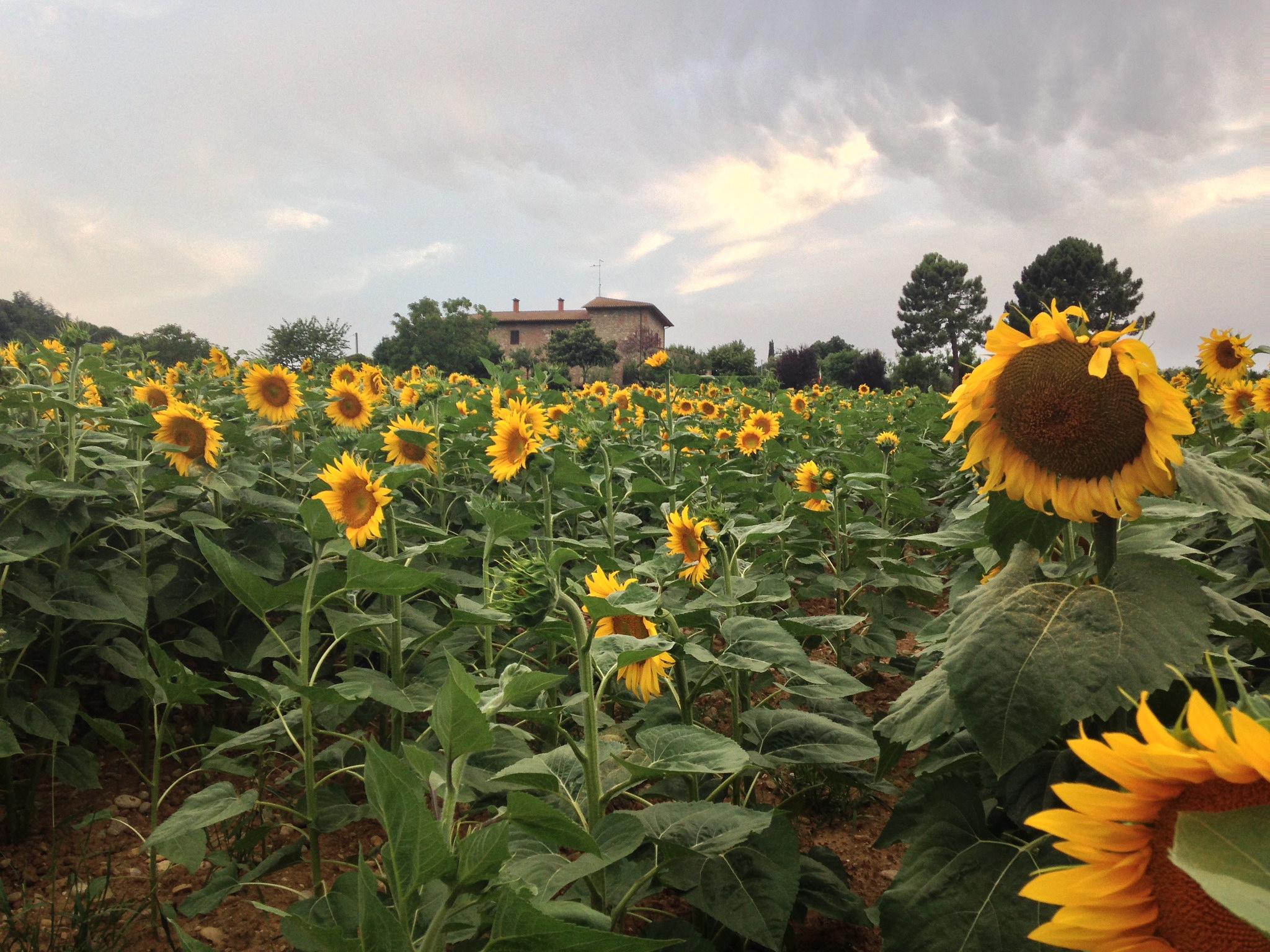 The famous sunflowers Siliano Alto EAT.PRAY.MOVE Yoga Retreats | Tuscany, Italy