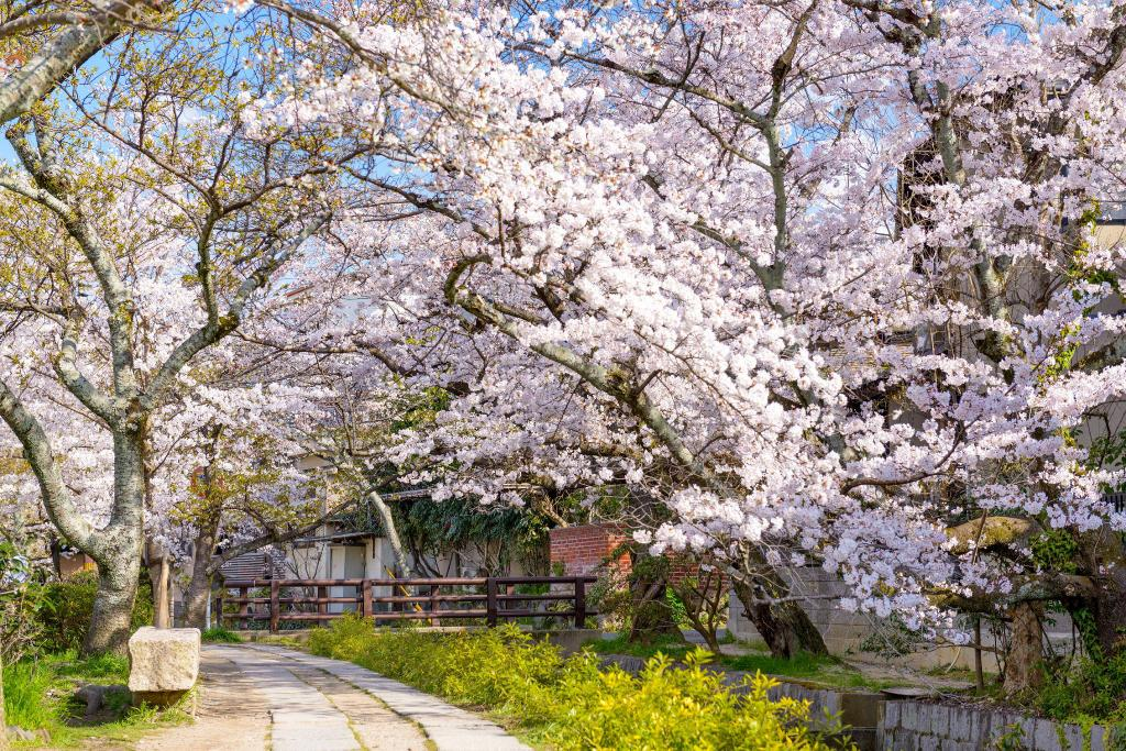 Cherry blossoms in spring  | EAT.PRAY.MOVE Yoga | Kyoto, Japan