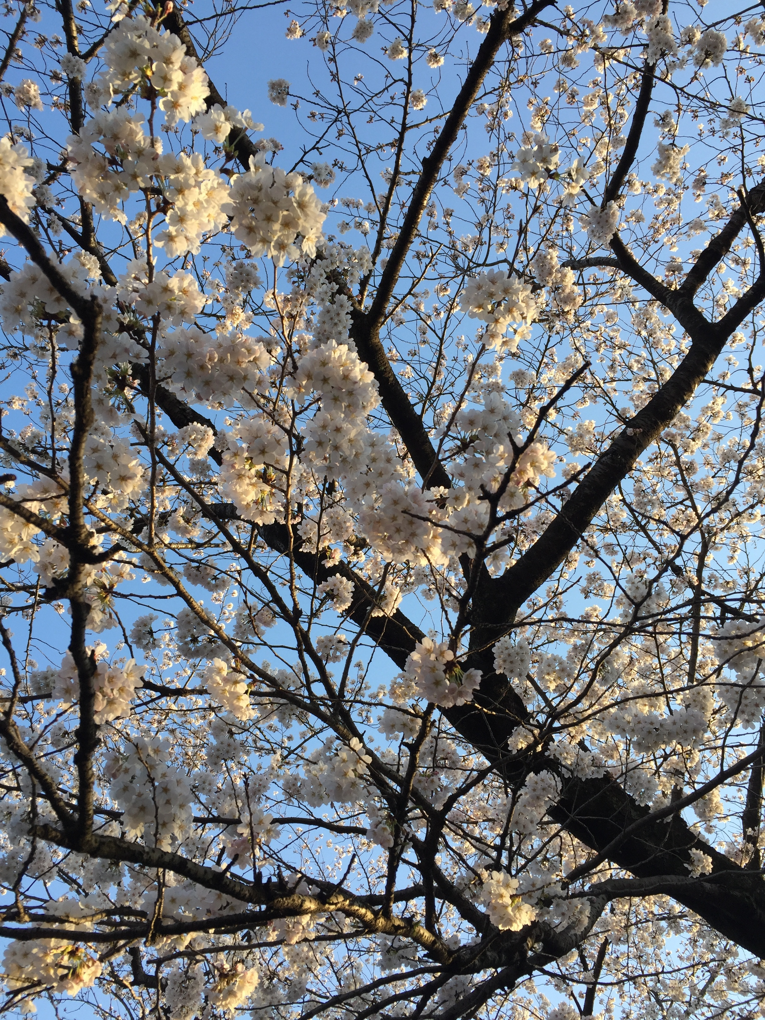 White cherry blossoms  | EAT.PRAY.MOVE Yoga | Kyoto, Japan