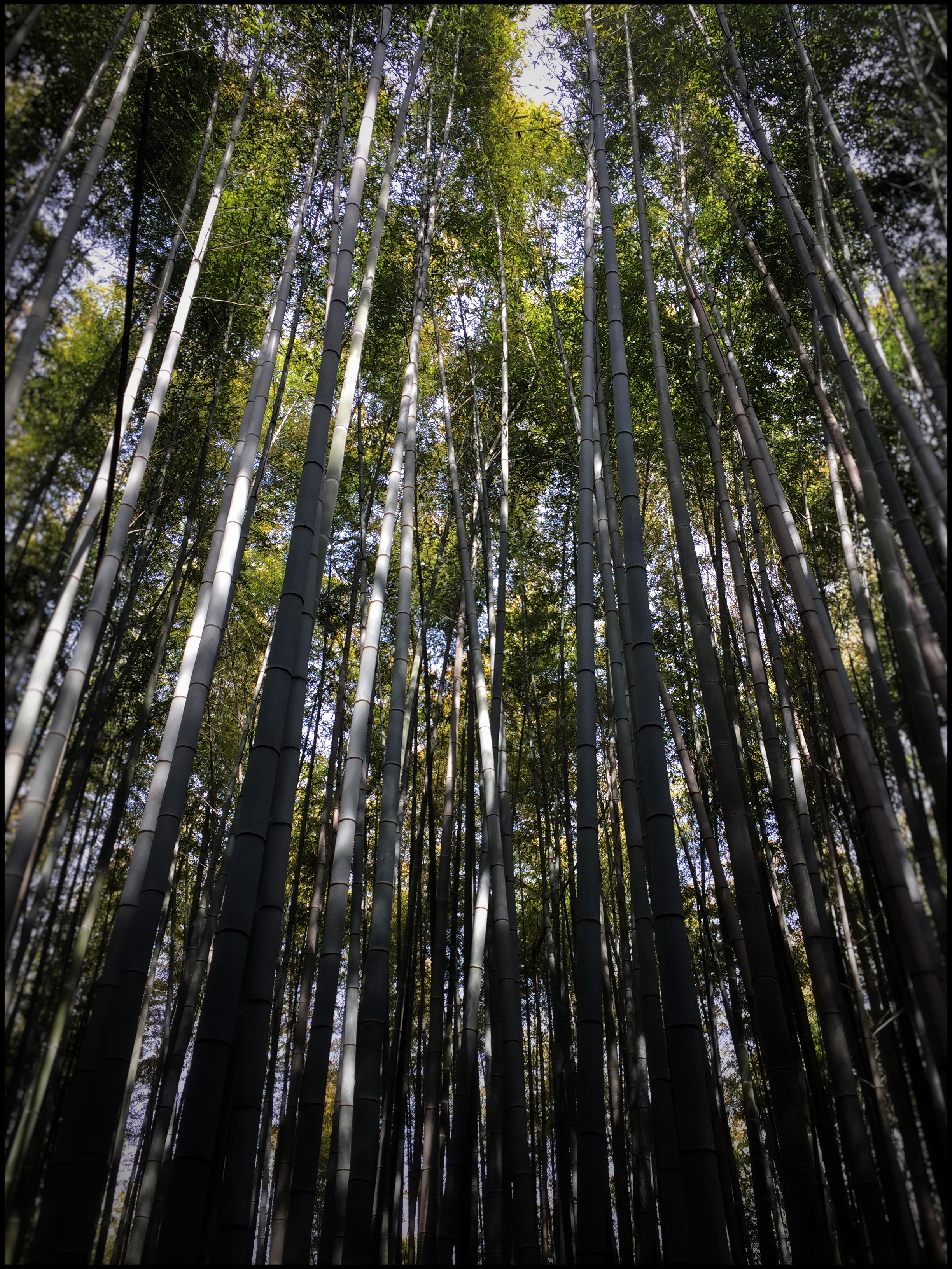 Towering heights of bamboo  | EAT.PRAY.MOVE Yoga | Kyoto, Japan