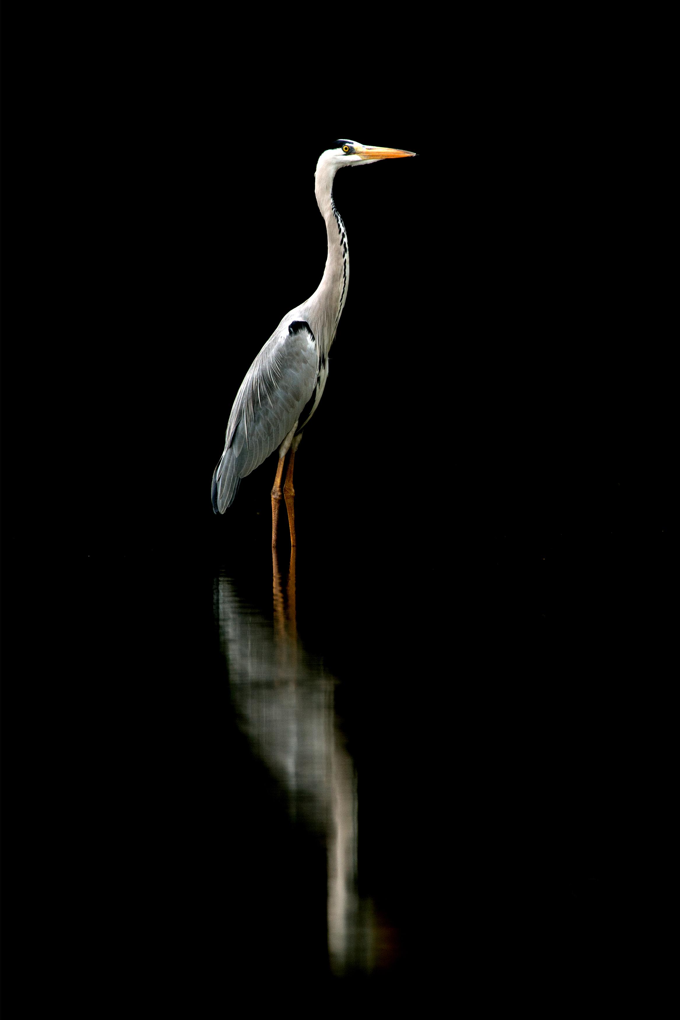 Grey Heron Reflection.jpg