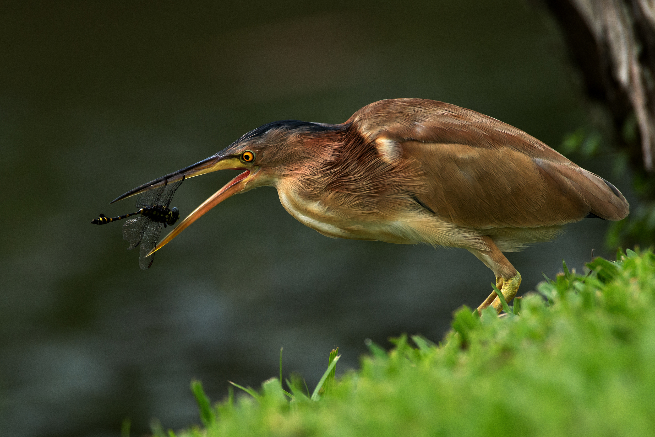 Yellow Bittern.jpg