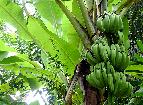 // Old World Discoveries →<p>If you're into bananas, well, St. Lucia has... a lot of bananas.</p>