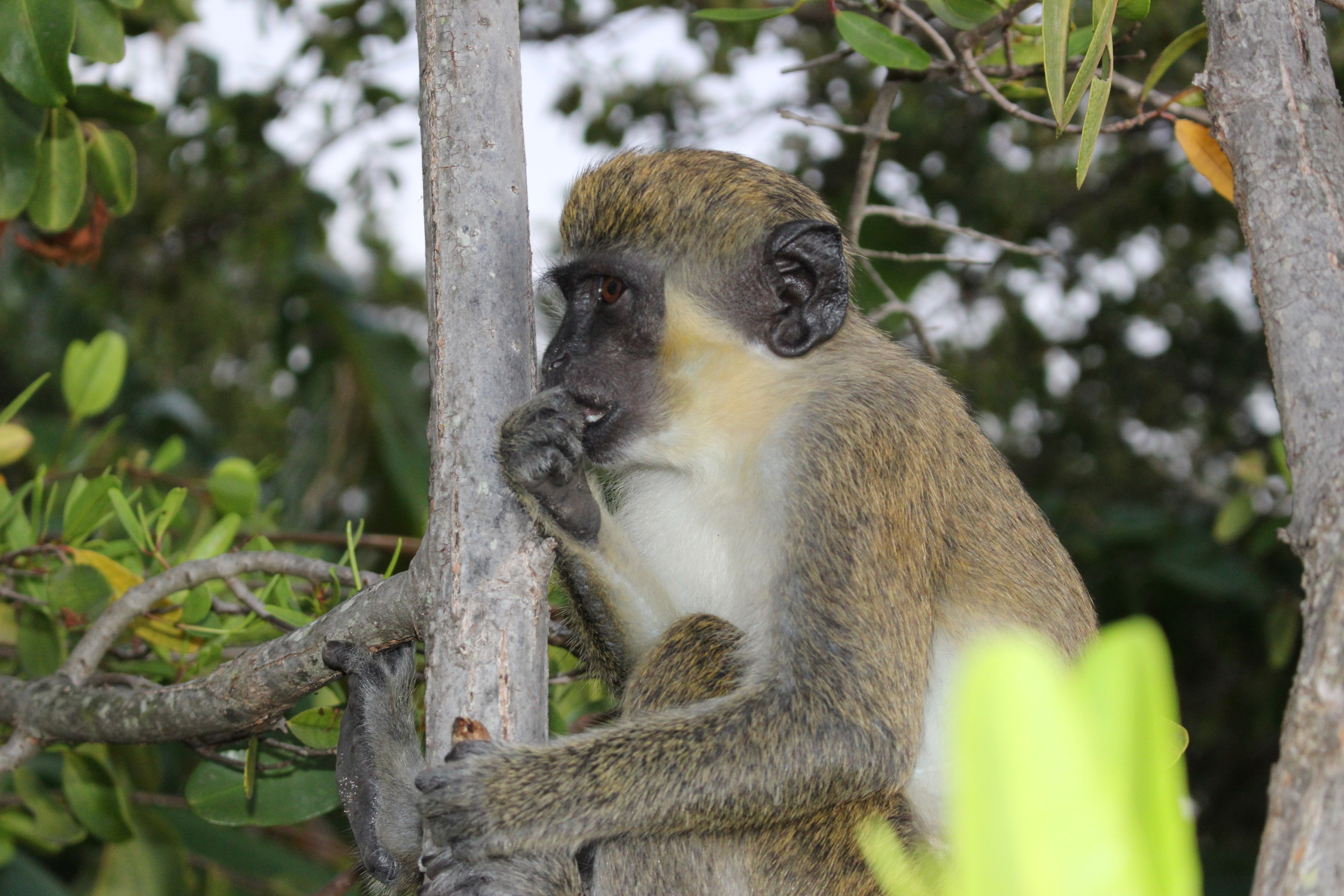 // Green Monkeys →<p>Only found on St. Kitts and Nevis, we'll encounter these friendly monkeys up in the rainforest or during lunch, while they politely ask for a snack.</p>