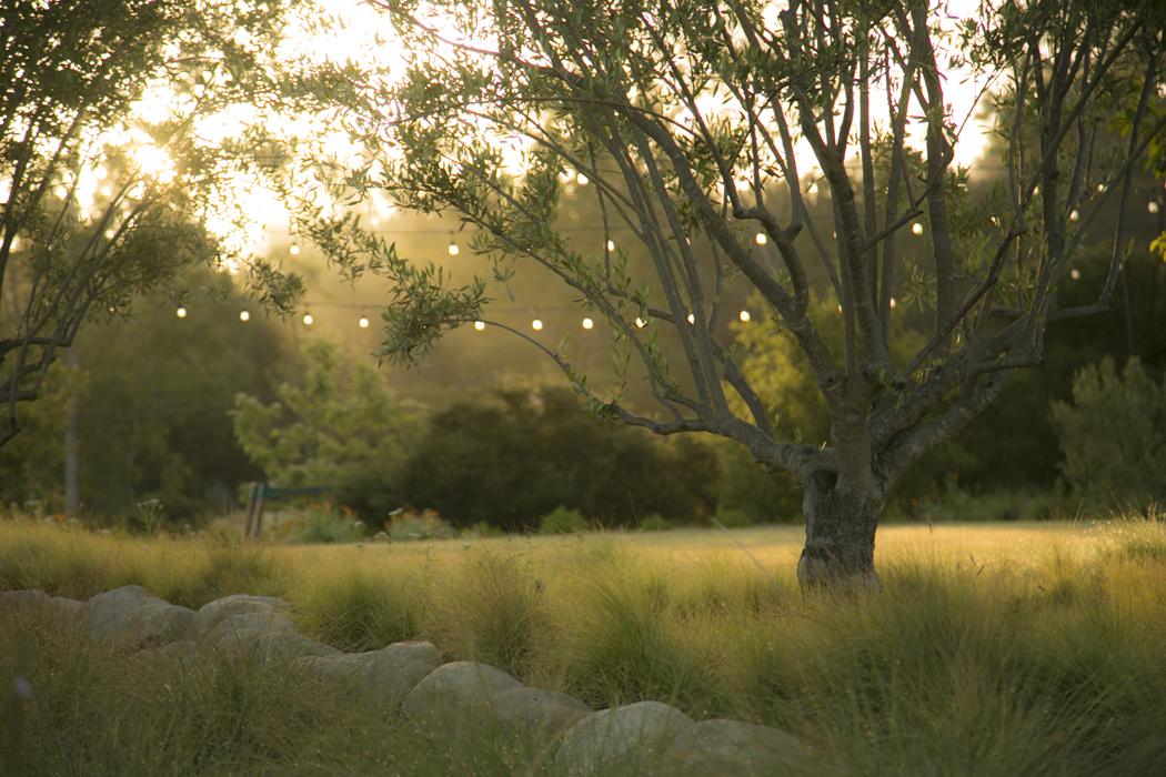016-Olive_Tree_1.jpg