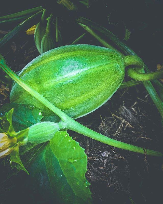 torpedo melon growing strong