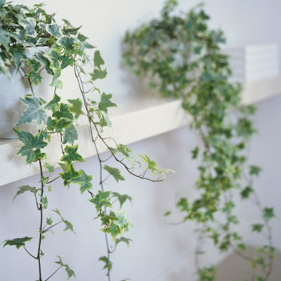 indoor English Ivy on the wall