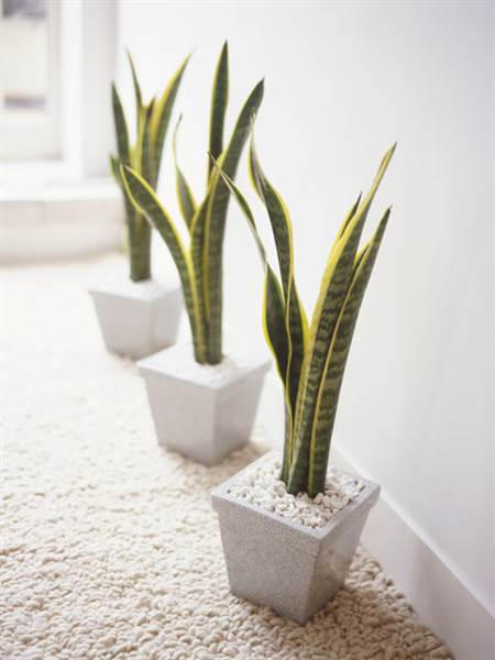 snake plants in square planters