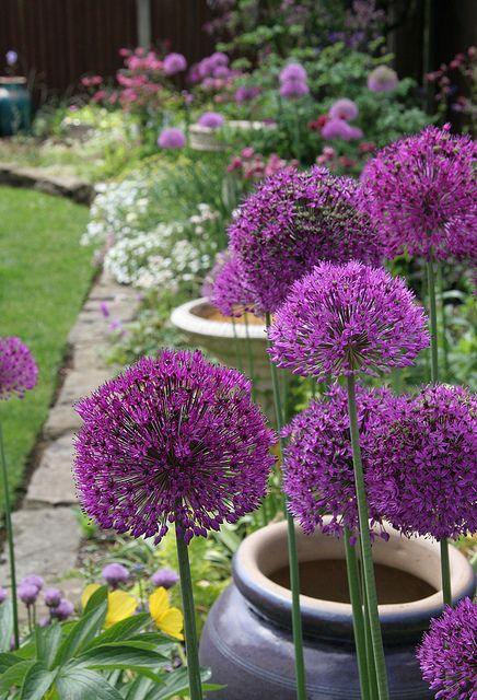 purple alium flowers