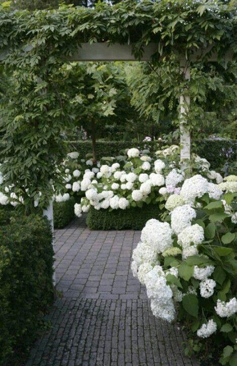 white hydrageas in a lush garden