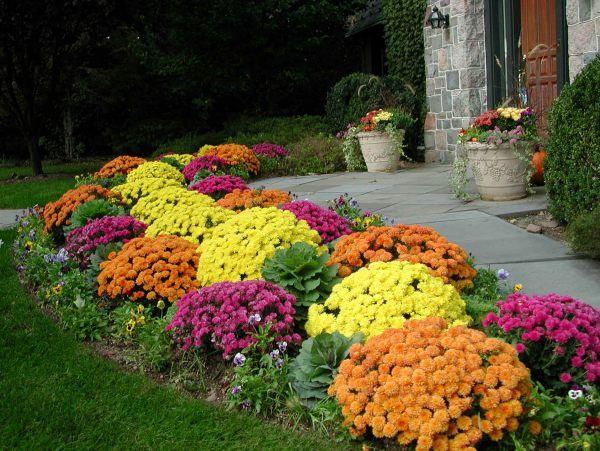 colourful dahlia shrubs