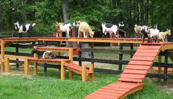 goat climbers backyard