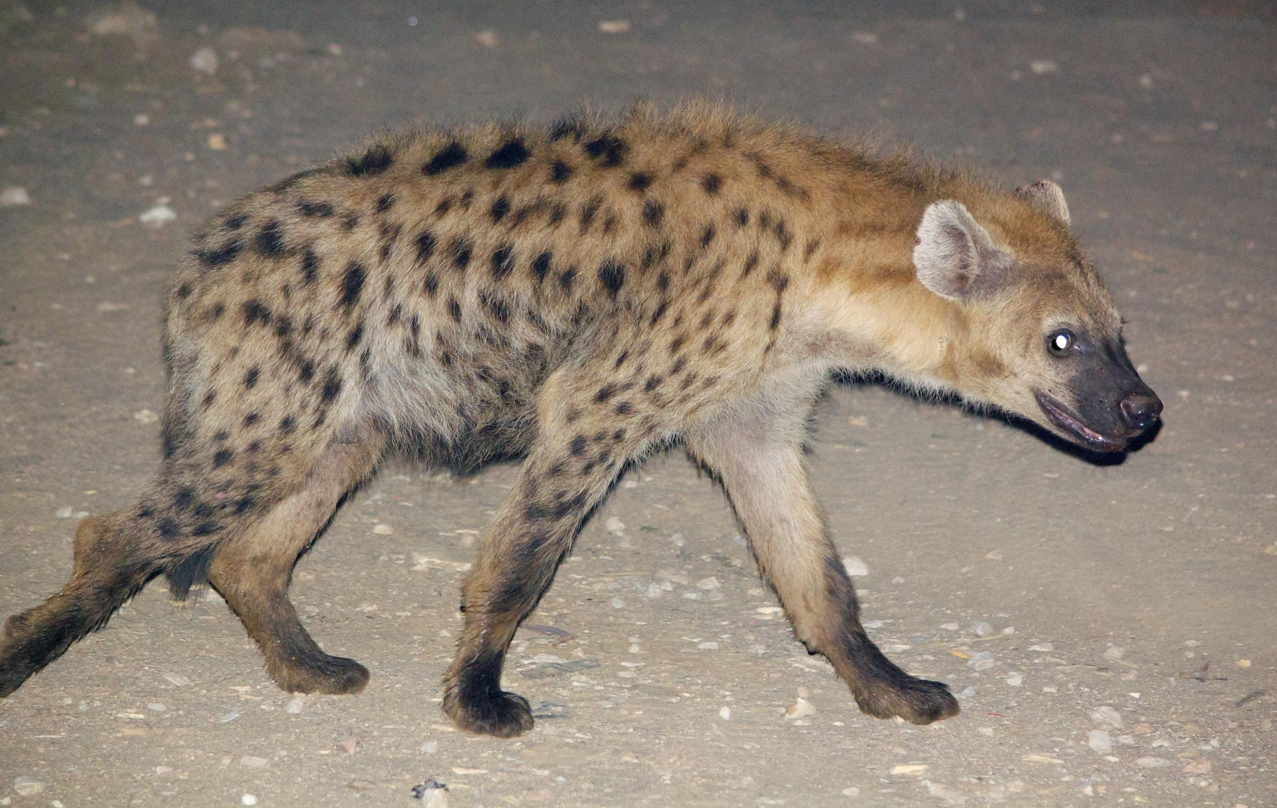 Hyenas in Harar