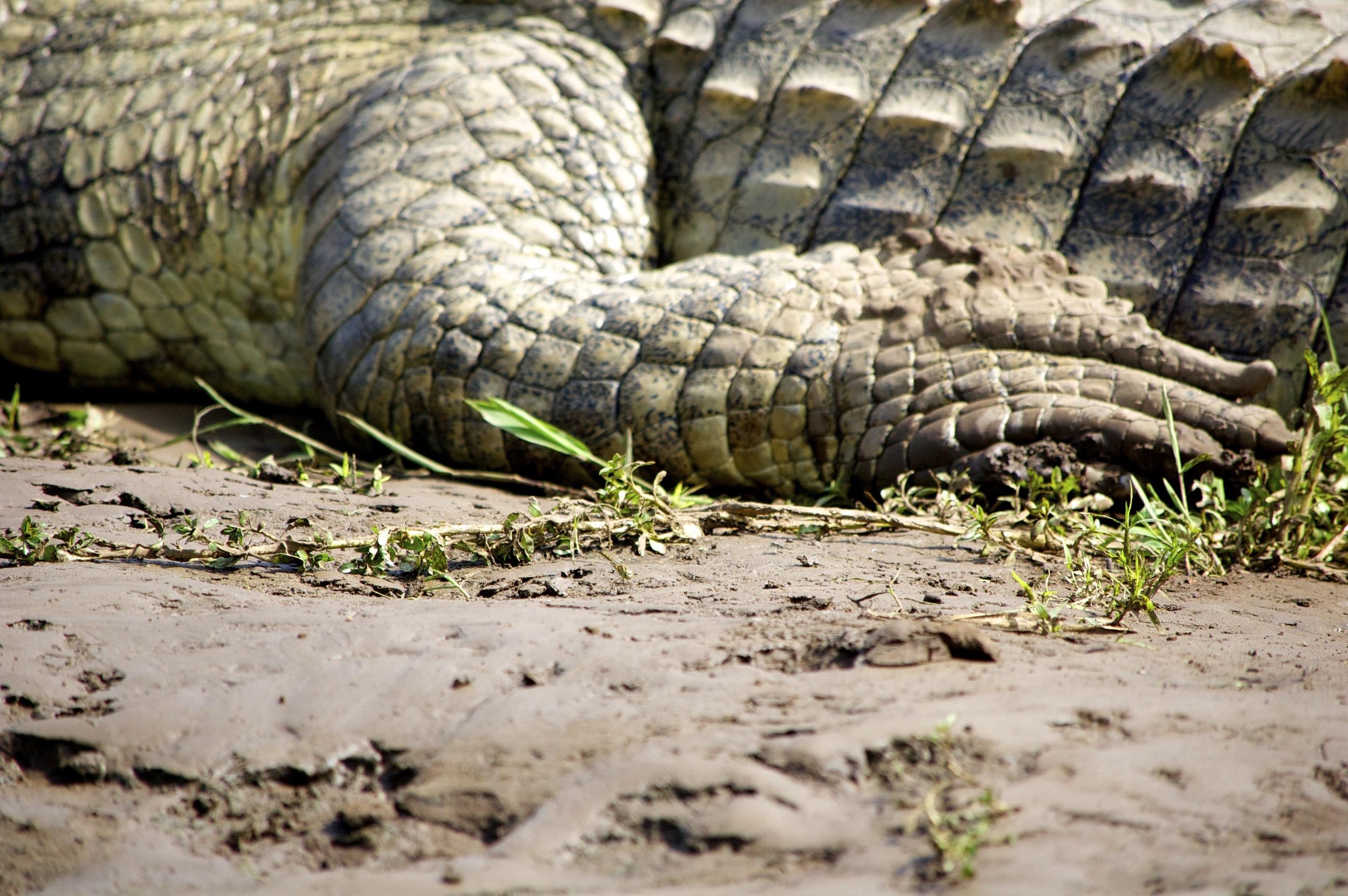 Crocodile claws