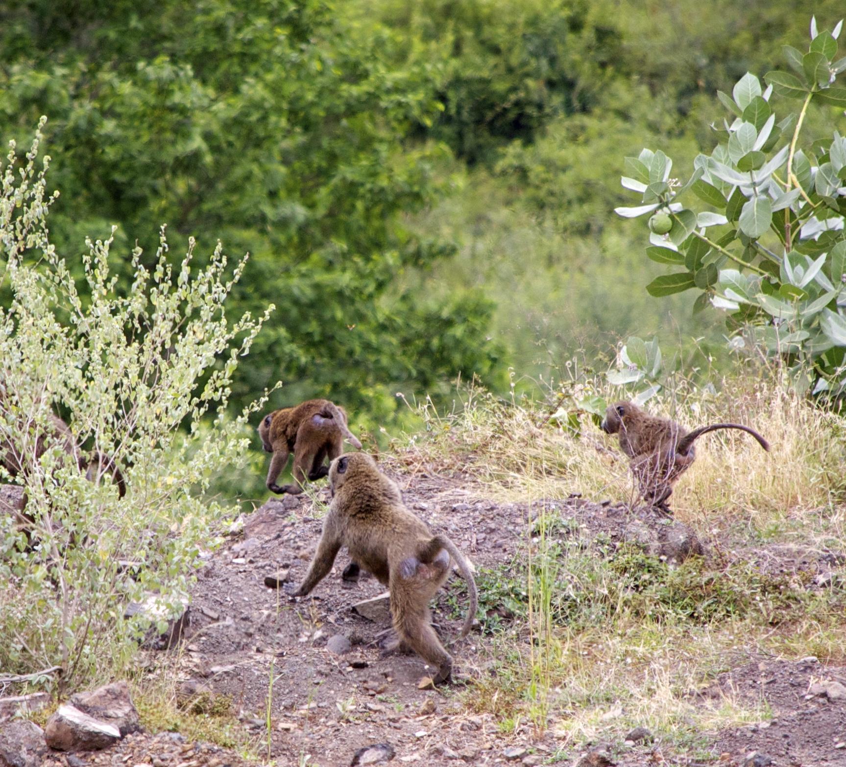 Monkeys in the Omo Valley