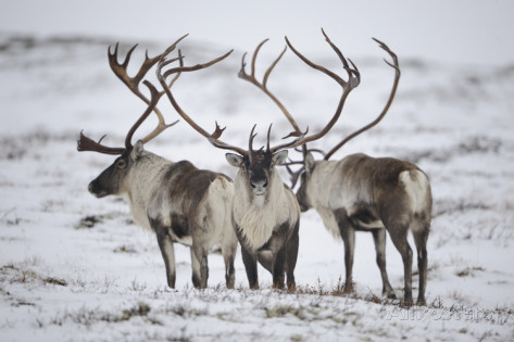 munier-three-reindeer-rangifer-tarandus-in-snow-forollhogna-np-norway-september-2008.jpg