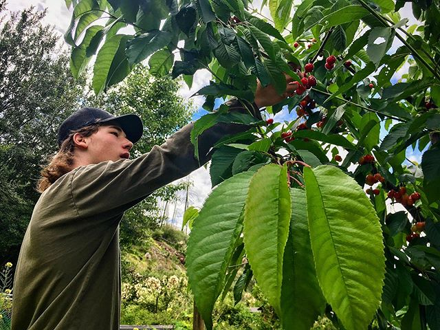 Hard to believe Cherry season is almost finished! Only a few remaining in the north Okanagan! Time flies - enjoy the gifts of summer while you can ☺️🍒Thx @benbikerman for trying to pick these before the crows did 😄 . #cherries #summer #vegetables #fruit #produce #local #okanagan #southokanagan #farmlife #organics #organicproduce #exploreokanagan #similkameen #similkameenvalley #farmfresh #farm #explorebc #imagesofcanada #fruit #buylocal #farmingandstuff #harvestseason #localfood #harvest #cawstonbc #organiccapitalofcanada