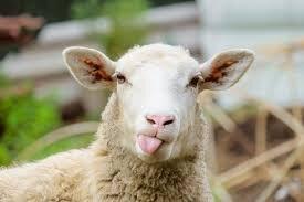 sheep with tongue hanging