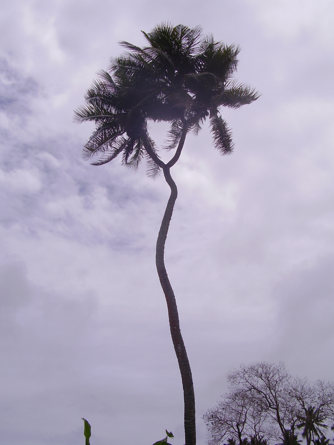 Pic: The allegedly only twin-forked coconut tree in the world!