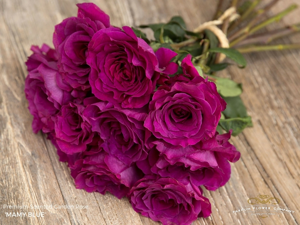 A new rose from the wonderful Parfum Rose Company who specialise in growing scented roses. This is called Mamy Blue.