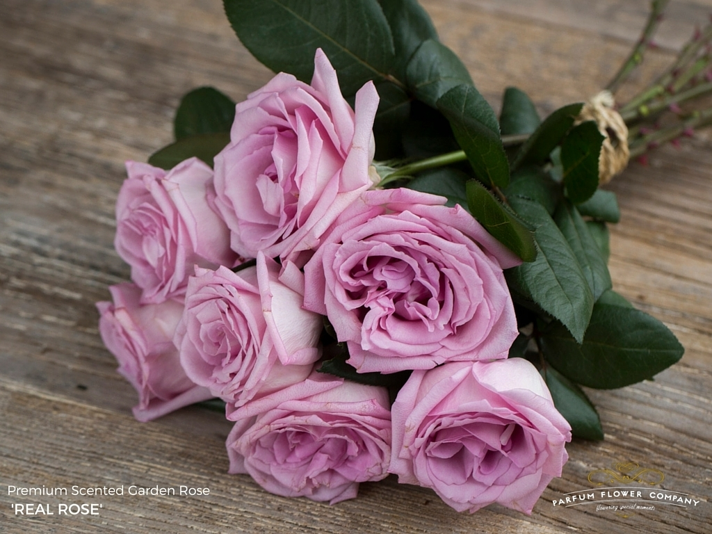 Classic rose coloured and wonderfully scented!