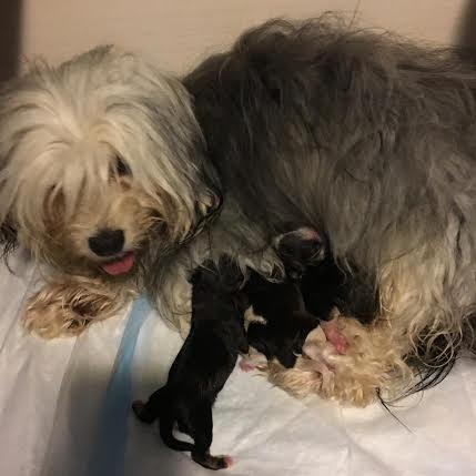Chamonix with her chocolate litter born June 4, 2016