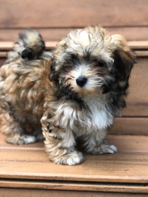 Adorable Puppies — Dayspring Havanese