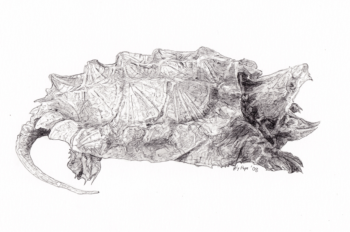 """Snapping Turtle, pencil, 4"""" x 5"""" - by Bly Pope"""