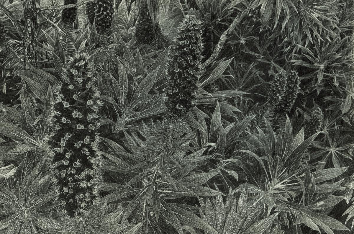 "California Cone Flowers, pencil, 7"" x 10"" - by Rowan Pope"